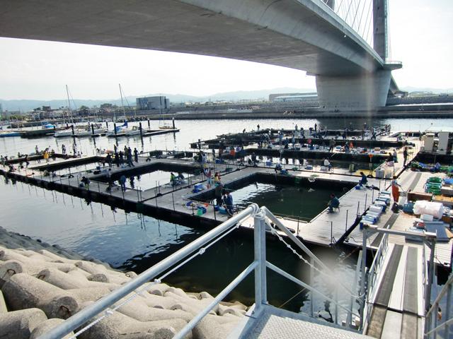 海上 釣り堀 田尻 田尻の海上釣堀 マダイ狙いのハリス1.5号のタックルが有効でした